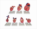 Models of the hearts of vertebrates