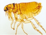 Cat male flea.w.m