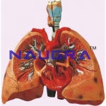 Heart With Lungs And Larynx